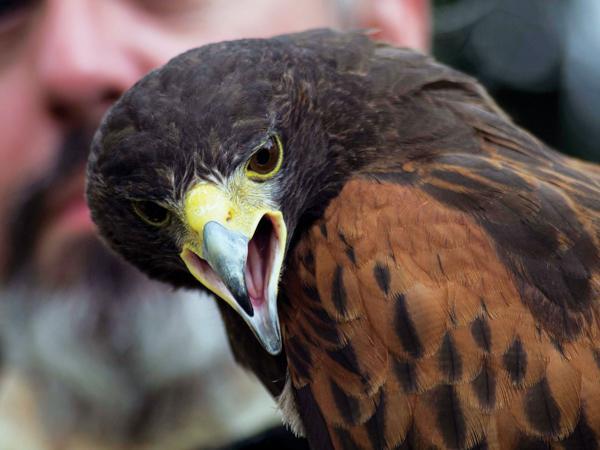 Photos by Earl Ward   an eagle from the Birds of Prey exhibition screams.