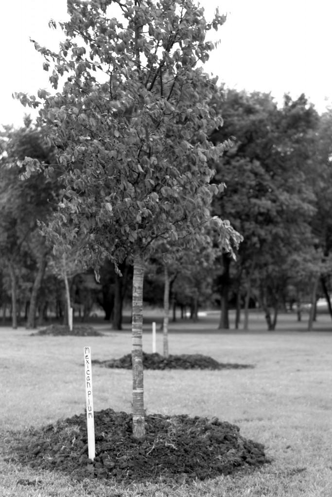Mexican Plum trees were a few of those planted on campus.