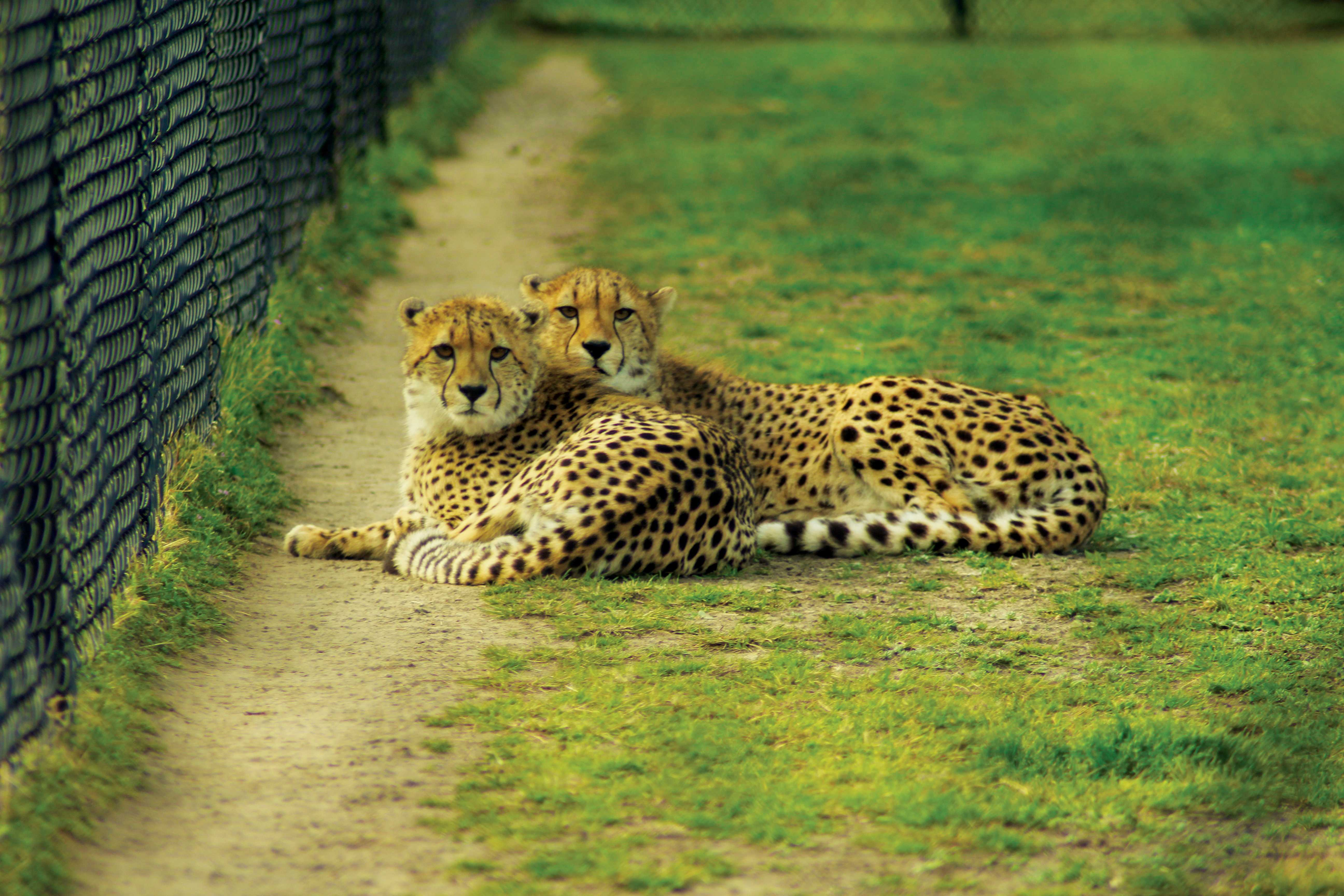Sibling cheetahs lie near a fence at the Fossil Rim Wildlife Center in Glen Rose, Texas.