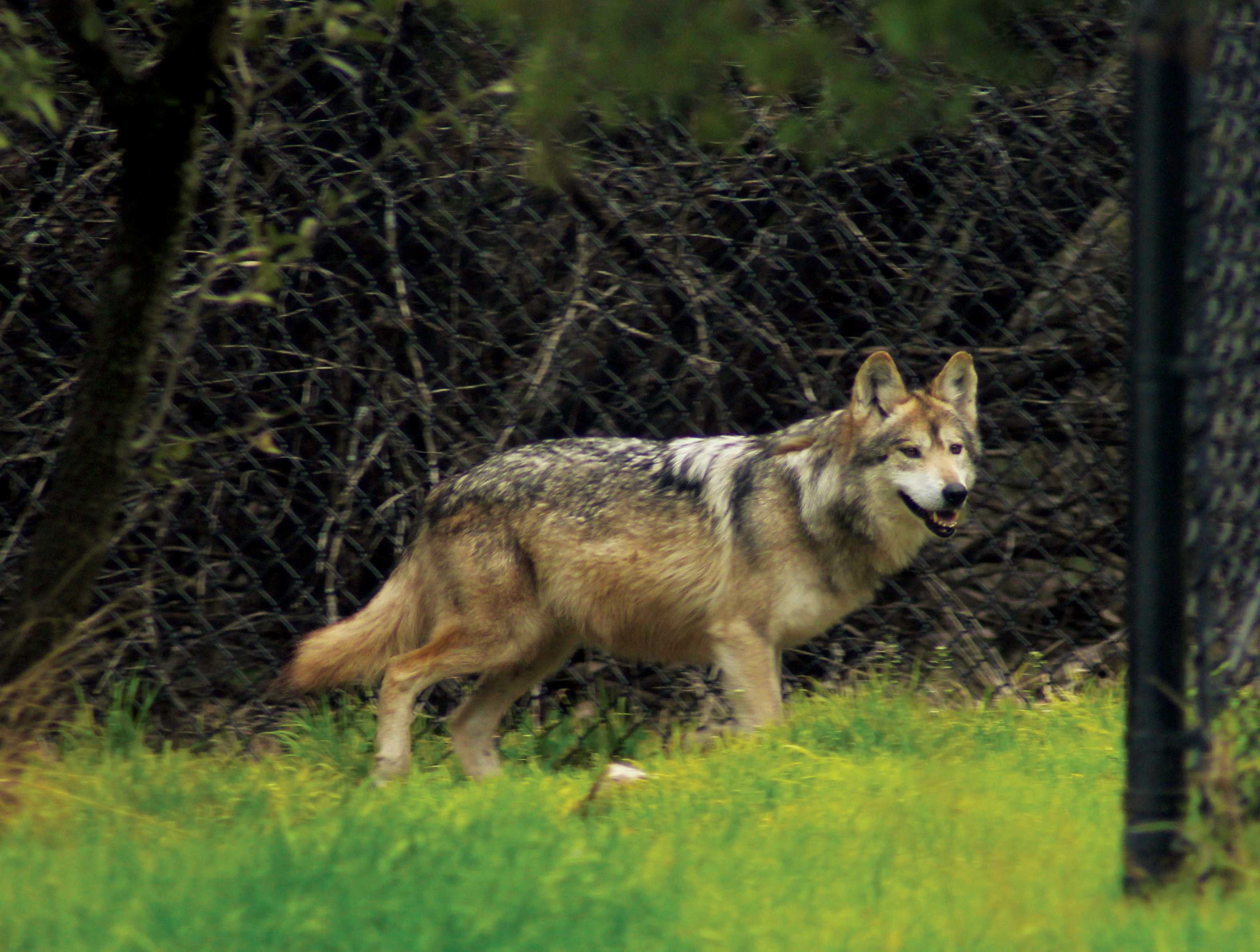 Serena, a 10-year-old Mexican Grey Wolf, looks on at the passing visitors. This species of wolf is now considered endangered, according to Fossil Rim's website.