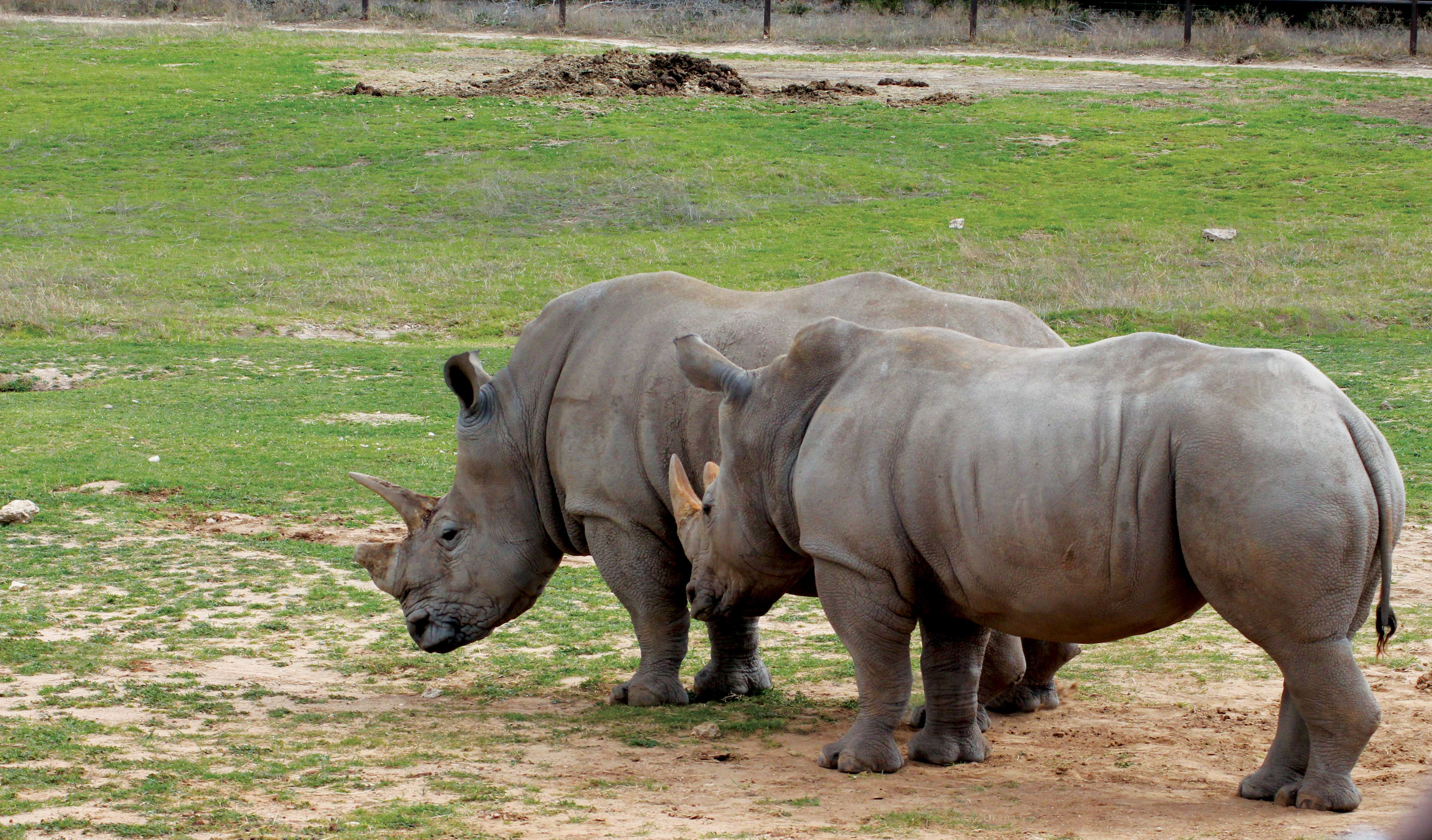 Fossil Rim is home to these two black rhinos, which are listed as critically endangered.