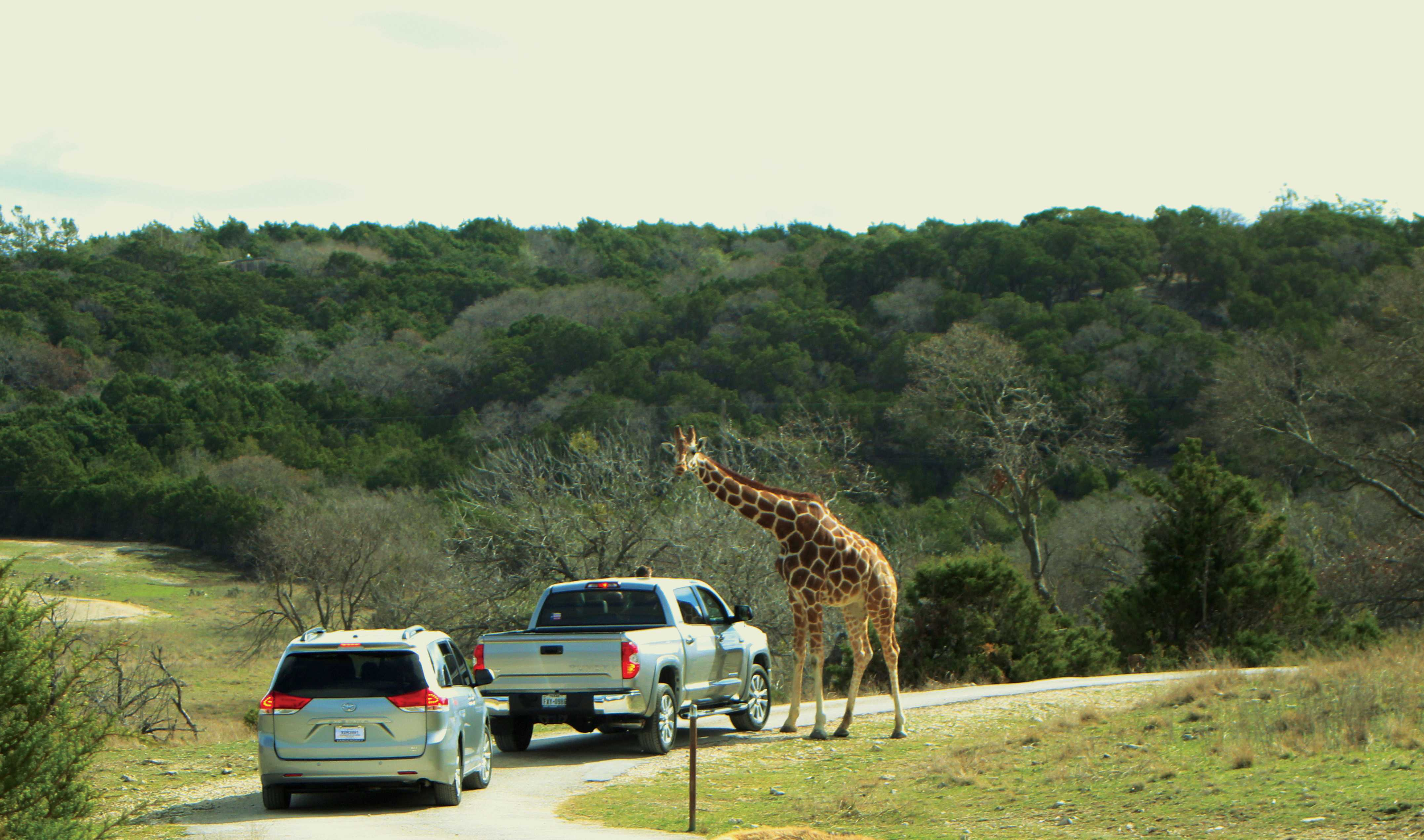 Park attendees stop to look at the giraffes roaming the area.