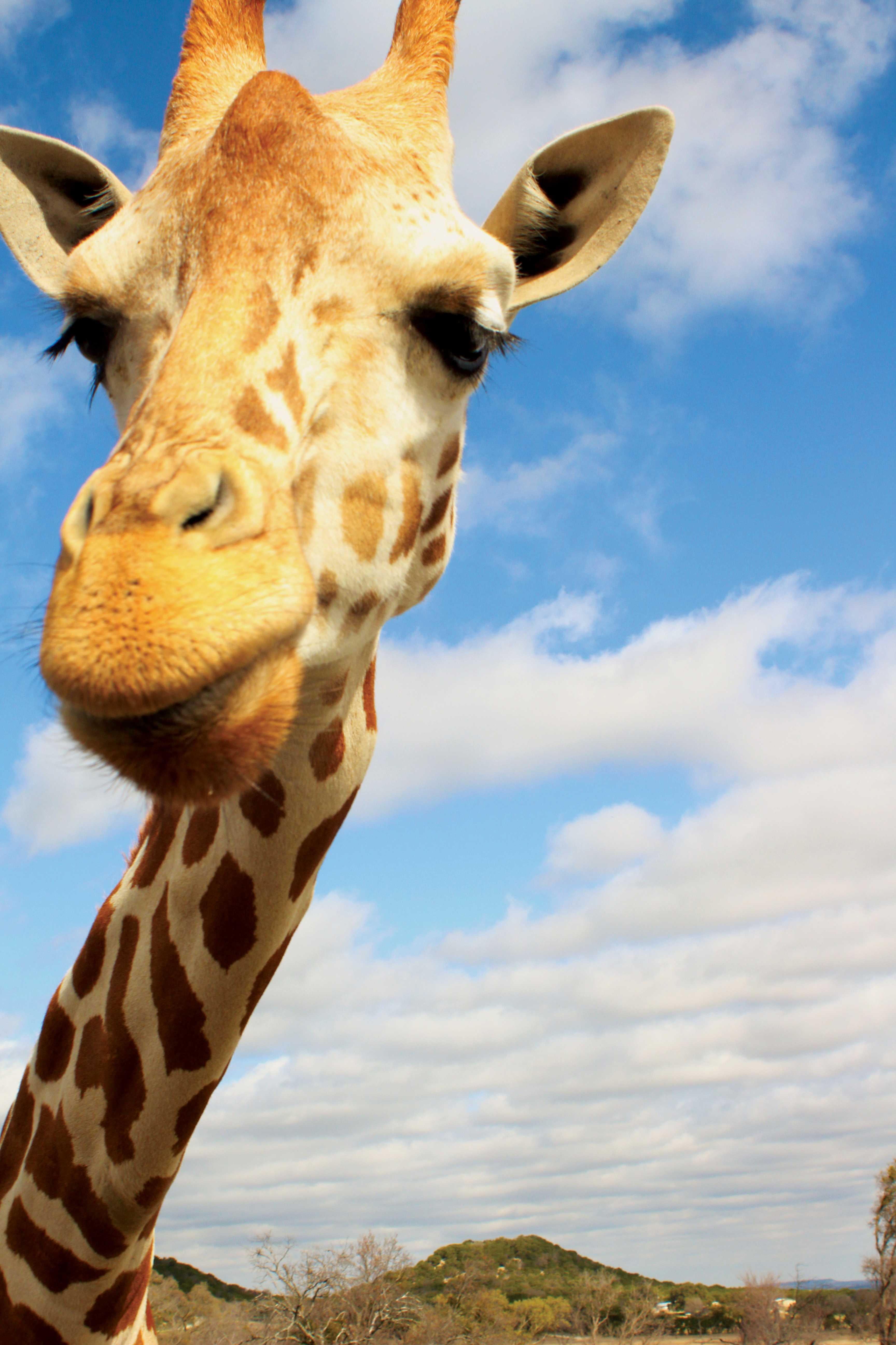 Photos by William De La Cruz | A giraffe comes in close in hopes of food.